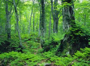 ブナの原生林 | 世界自然遺産白...